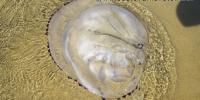 Lignano vyplavená medůza