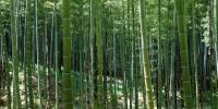 Bambusový les v Arašiyamě.