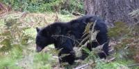 Yosemitský medvídek černý - pravý yosemiťák