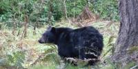 Medvídek černý - pravý yosemiťák